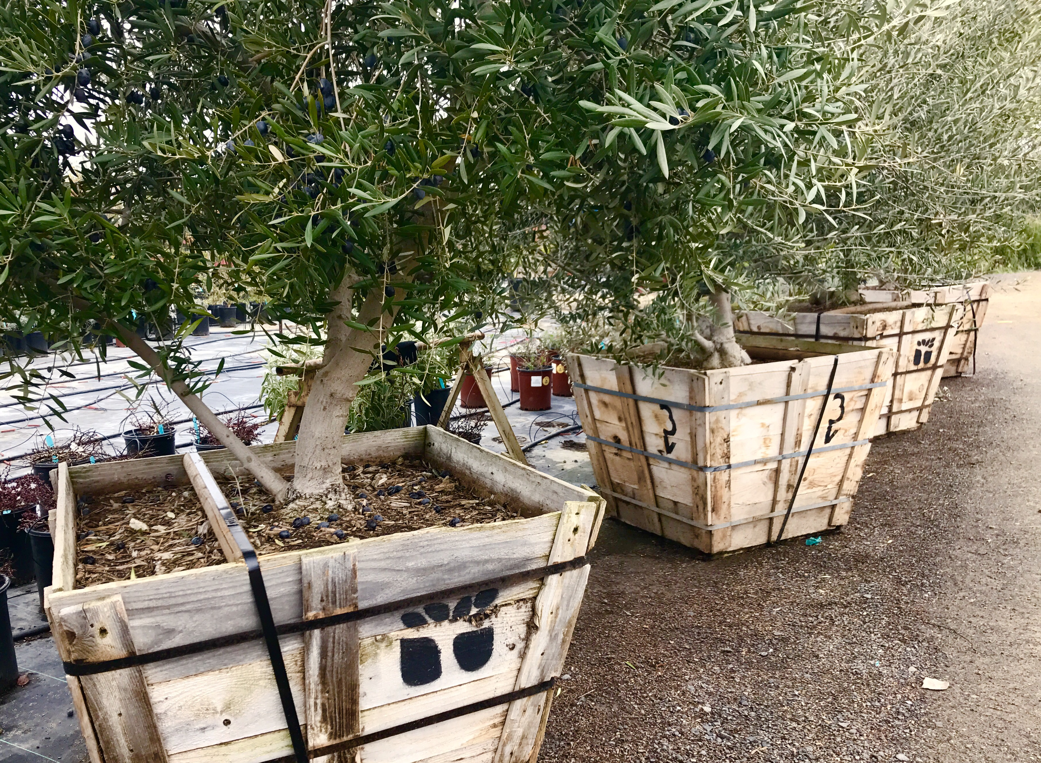 olive trees in boxes