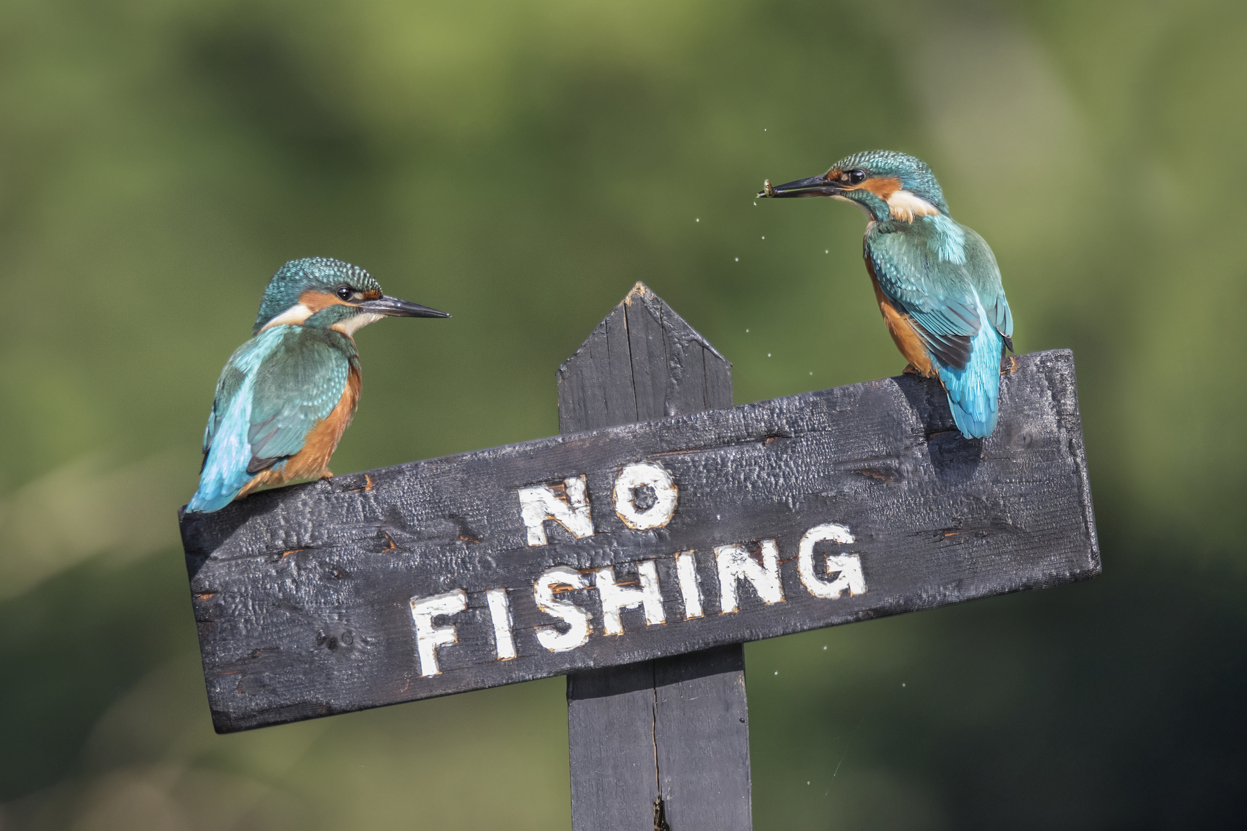 These two kingfishers take no notice of the local fishing rules
