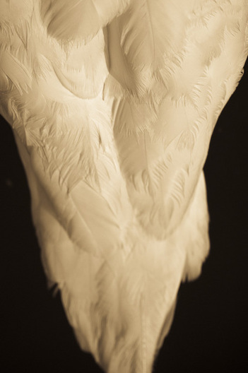 A passionate study on the grace, elegance and sculpture aspects of the magnificant swan.  Edition of Ten  sized at 17 x 22