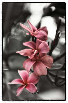 Plumeria, Honolulu, Hawaii