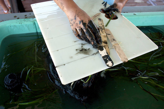 A volunteer loads a tray with bundles of eelgrass to be transplanted on Monday at the Back Bay Science Center.