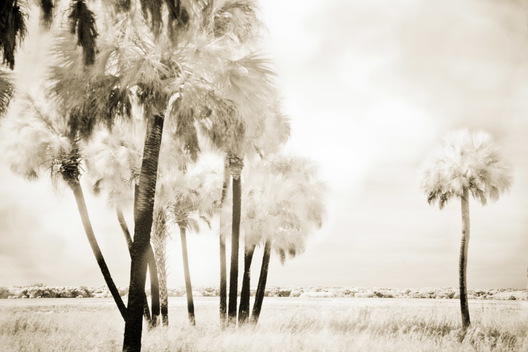 Infrared photograph of  palm trees at Myakka River State Park, Florida