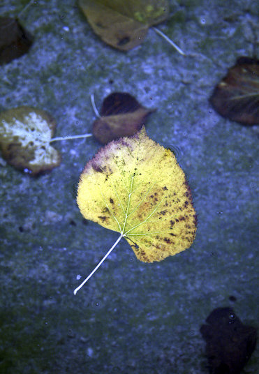 a floating yellow leaf in a pond