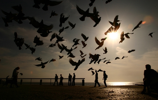 12/29/05 -- Laguna Beach, CA -- Pigeons eat bread by the board walk at Main Beach. Photo by Katye Martens, USA TODAY
