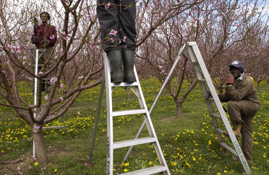 Trimming the orchard trees in late spring on a farm in Niagara, Ontario.