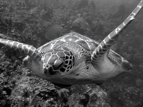 A turtle cruises over the reef near the Bloody Bay Wall on Little Cayman, Cayman Islands BWI. 