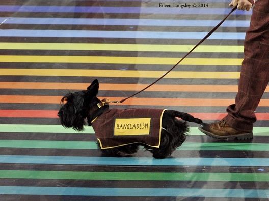 A scottie dog and his handler lead out the team from Bangladesh at the Opening Ceremony of the 2014 Glasgow Commonwealth Games.