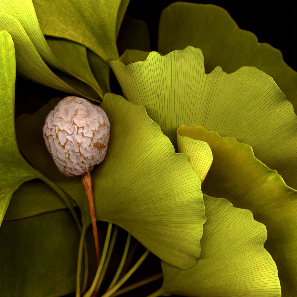 Ginkgo | Andrew Levine Photography - Fine Art Photography for ...