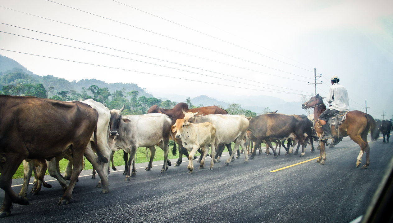 Man on a horse and cows on a street in Honduras