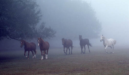 Horse coming through the mist