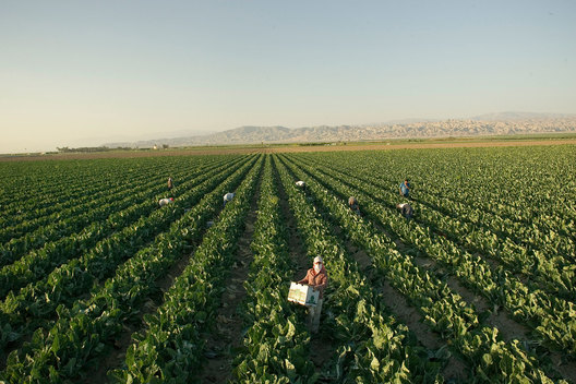 A team of immigrant farmworkers clean the remains of a harvested cauliflower field near Coachella, Ca.