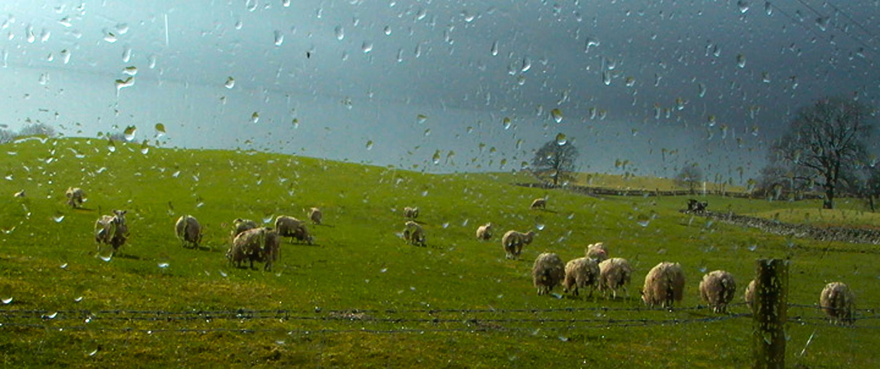 Sheep through rain, Knocktower, Southwest Scotland