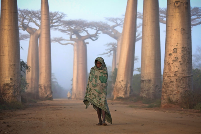 A Malagasy child walks through Baobab Alley in the fog at dawn.