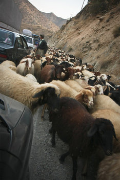 A shepherd herds a flock of sheep on a mountain pass in Kordestan.