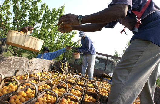Apricots are harvested and loaded onto the back of a truck in Grimsby, Ontario.