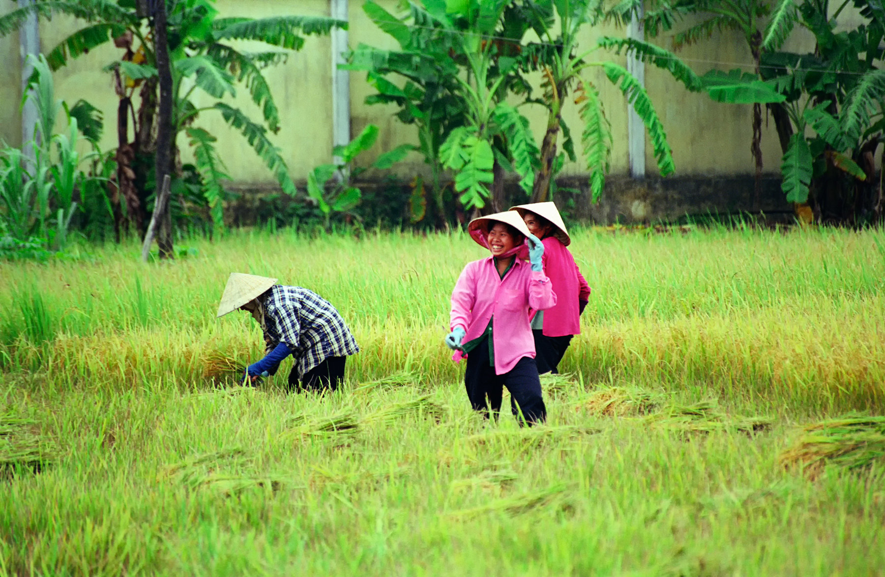 Vietnam, Mekong Delta, Women working in rice paddy