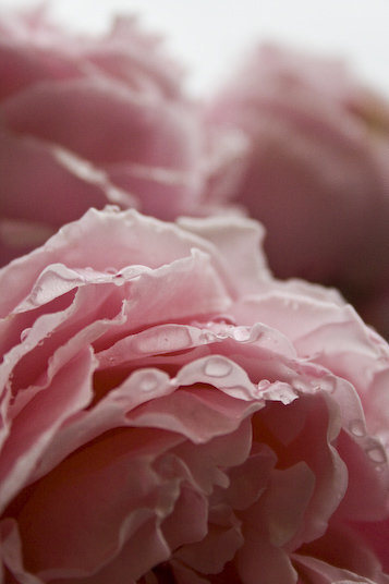 A closeup of a pink rose with water drops