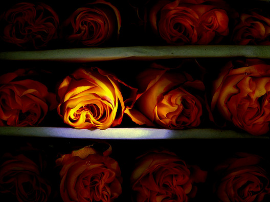 Boxed Roses - Nashville, Tennessee