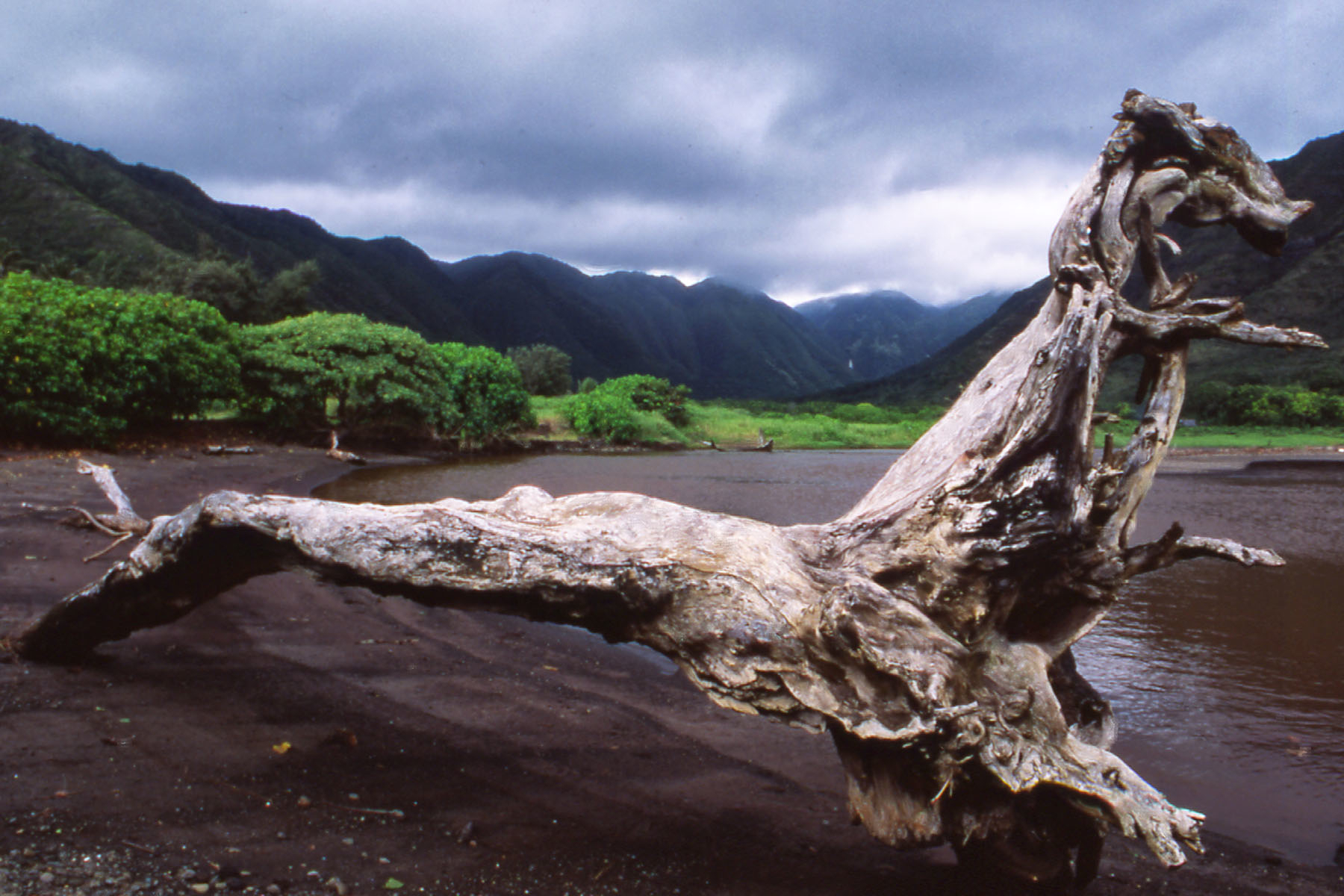 Monster Driftwood, Molokai, Hawaii