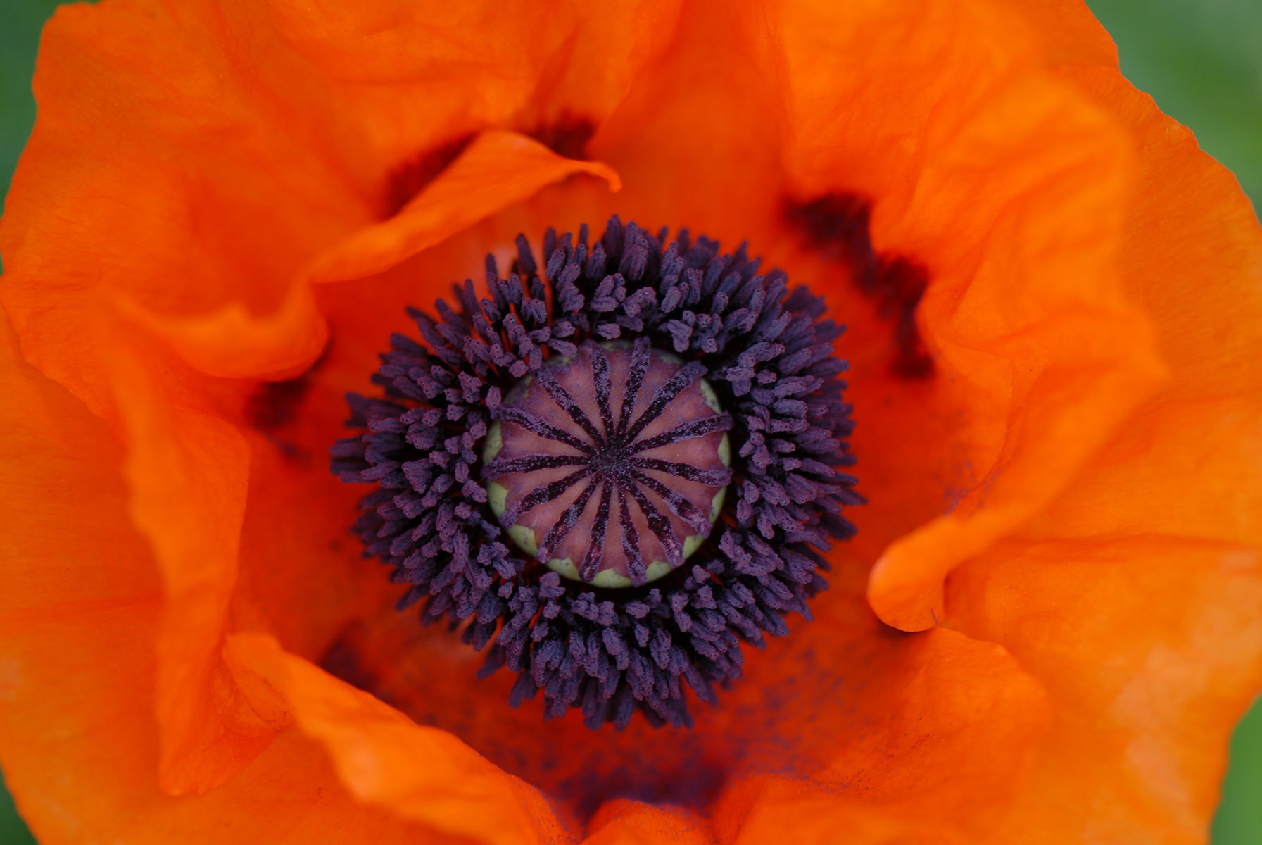 Taken at a friends garden, this poppy invited me right in to it's heart.