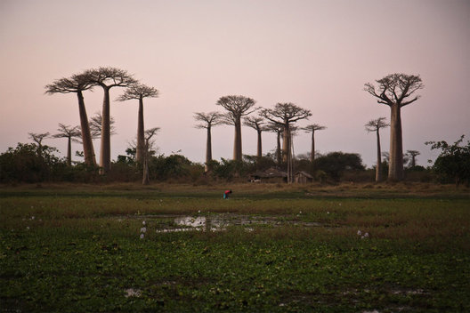 Silhouette of baobabs at dusk in Baobab Alley Madagascar.