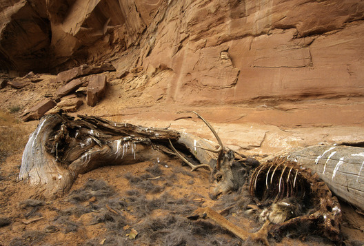A mule deer buck lies where he died in Horseshoe Canyon at Canyonlands National Park, Utah.  Michael Brands.