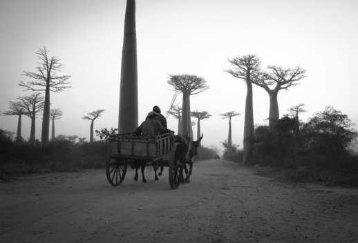 A zebu cart is pulled by thousand year old trees near Morondava, Madagascar.