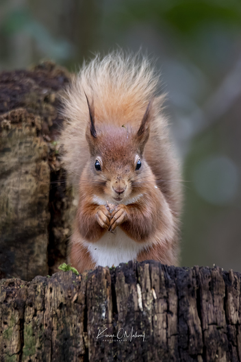 REDSQUIRREL, SQUIRREL, WILDLIFE, WILD, NATURE, FORREST, WOOD, WOODS, IRELAND, HIDING, RED, NUT, NUTS, KIERANOMAHONY, PHOTOGRAPHY, FINEART, FINEARTPHOTOGRAPHY, PHOTOGRAPHER,