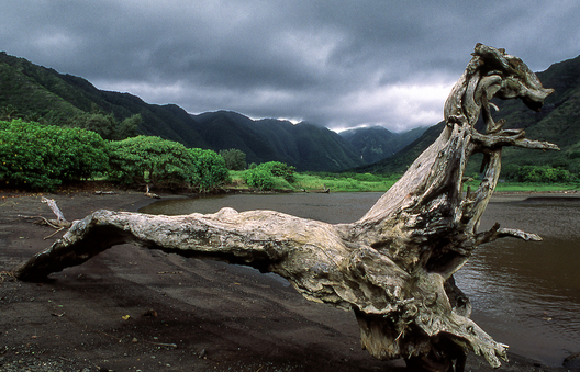 Large piece of driftwood on the lsland of Molokai.