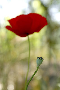 a poppy pod and flower