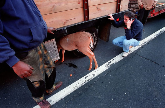 Passerbys attend to a deer caught underneath a truck in Sag Harbor, NY