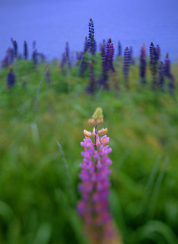 my parents backyard in sedgwick is cut once a year to let the lupines come back every june.  these huge flowers are a classic sight along the maine coast.  thislone pink spike was all by itself in a sea of purple.