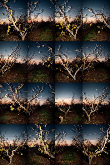 A series of 16 images from a Driveby sequence arranged as a proof sheet. Nectarine orchard at dusk, Fresno County