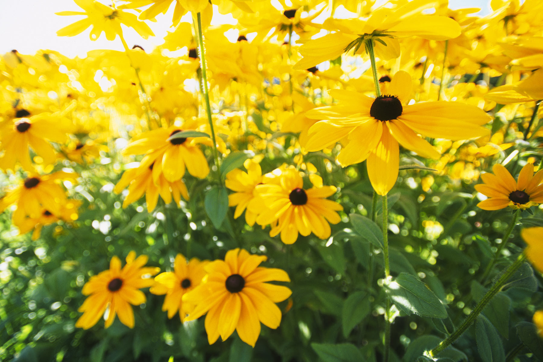 this giant patch of  rudbeckia appears in sadies' yard every summer. it is so big that there is a sense of place inside the patch among the stalks all tinted golden from the petals filtering the sun.  I wanted to go inside but i couldn't fit but my camera could.  this is what a rudbeckia room looks like.