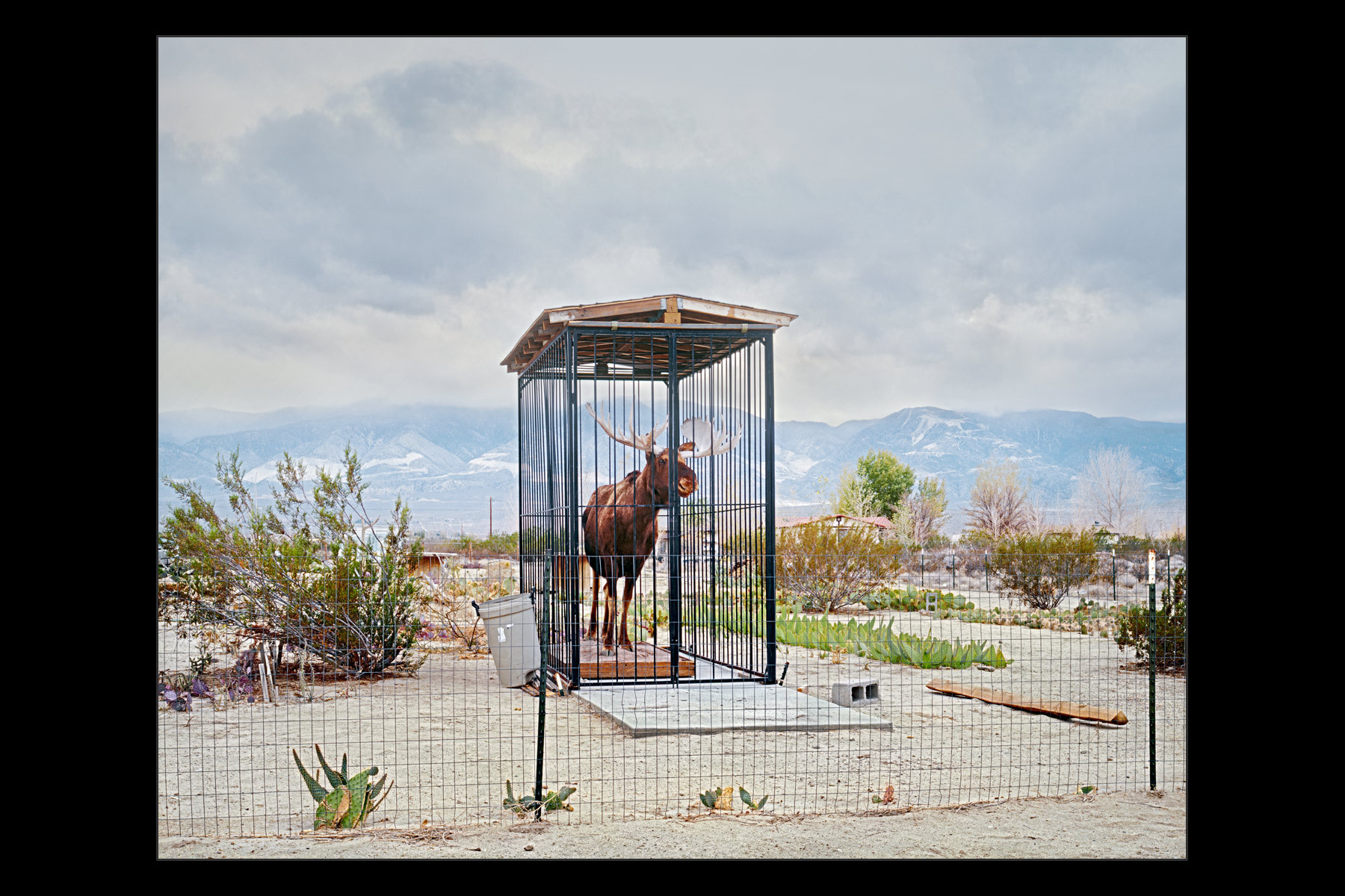 caged, stuffed moose, Lucerne Valley